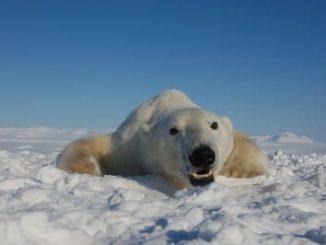 Eisbär (Jenny Bytingsvik, NTNU)