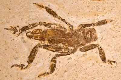 Fossil des neu entdeckten Insekts. (Hwaja Goetz)