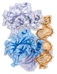 Darstellung des Proteins p53 (Wikipedia / User: Thomas Splettstoesser / CC BY-SA 3.0)