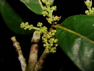 Neue Pflanzengattung Yasunia (Missouri Botanical Garden)