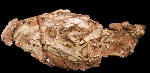 Der fossile Schädel von Daemonosaurus chauliodus (Carnegie Museum of Natural History)