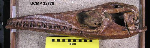 Einer der am besten erhaltenen Mosasaurusschädel der Welt im Museum of Paeonthology der University of California in Berkeley (Johan Lindgren)