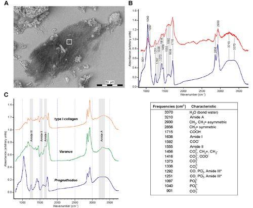 Infrarot-Mikrospektroskopien von isolierten Fasern des Mosasaurusknochens. (a) SEM-Bild der Fasern. Das weiße Quadrat markiert den vom Synchrotronlicht gemessenen Bereich. (b) Absorptionsspektren des Faserbündels: rot = Synchrotronlicht, blau = normales Licht. (c) Vergleich zwischen Absorptionsspektren des Typ-I-Kollagen eines Warans und dem Mosasaurus. (Johan Lindgren)