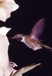 Kolibri bei der Nahrungssuche (Bill Ratcliff / National Park Service)