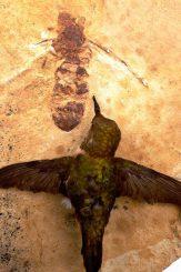 Größenvergleich von Ameisenfossil und Kolibri (Bruce Archibald / Rolf Mathewes / SFU)