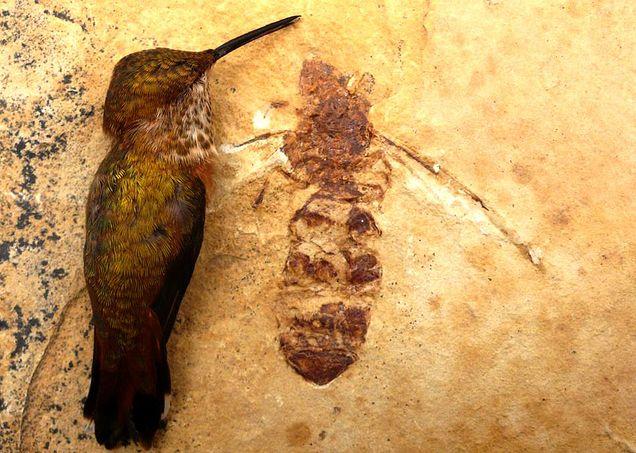 Das Ameisenfossil im Vergleich mit einem Kolibri (Bruce Archibald / Rolf Mathewes / SFU)