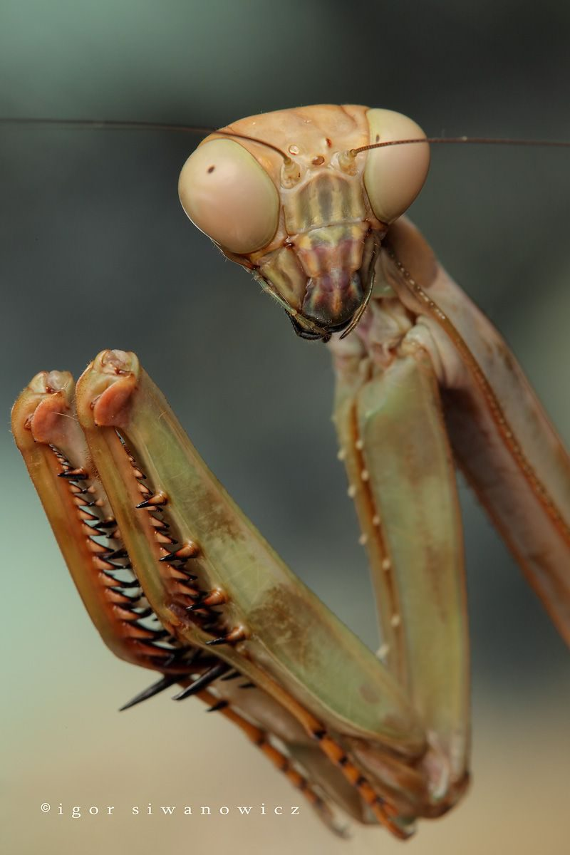 """want a piece of me?"" - Plistospilota guineensis, eine afrikanische Gottesanbeterin (I. Siwanowicz)"