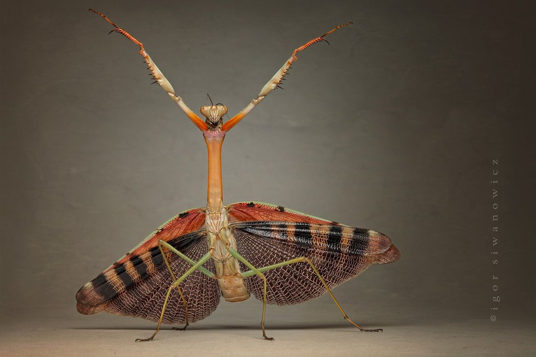 """""""Dervish"""" - Eine große afrikanische Gottesanbeterin Plistospilota guineensis zeigt ihre Drohhaltung (I. Siwanowicz)"""