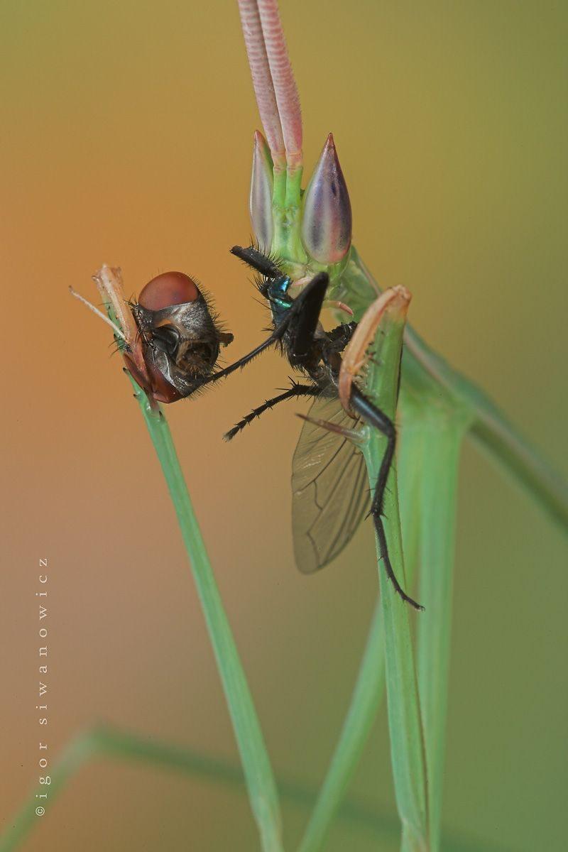 """""""fingerfood"""" - Schizocephala bicornis beim Fressen (I. Siwanowicz)"""