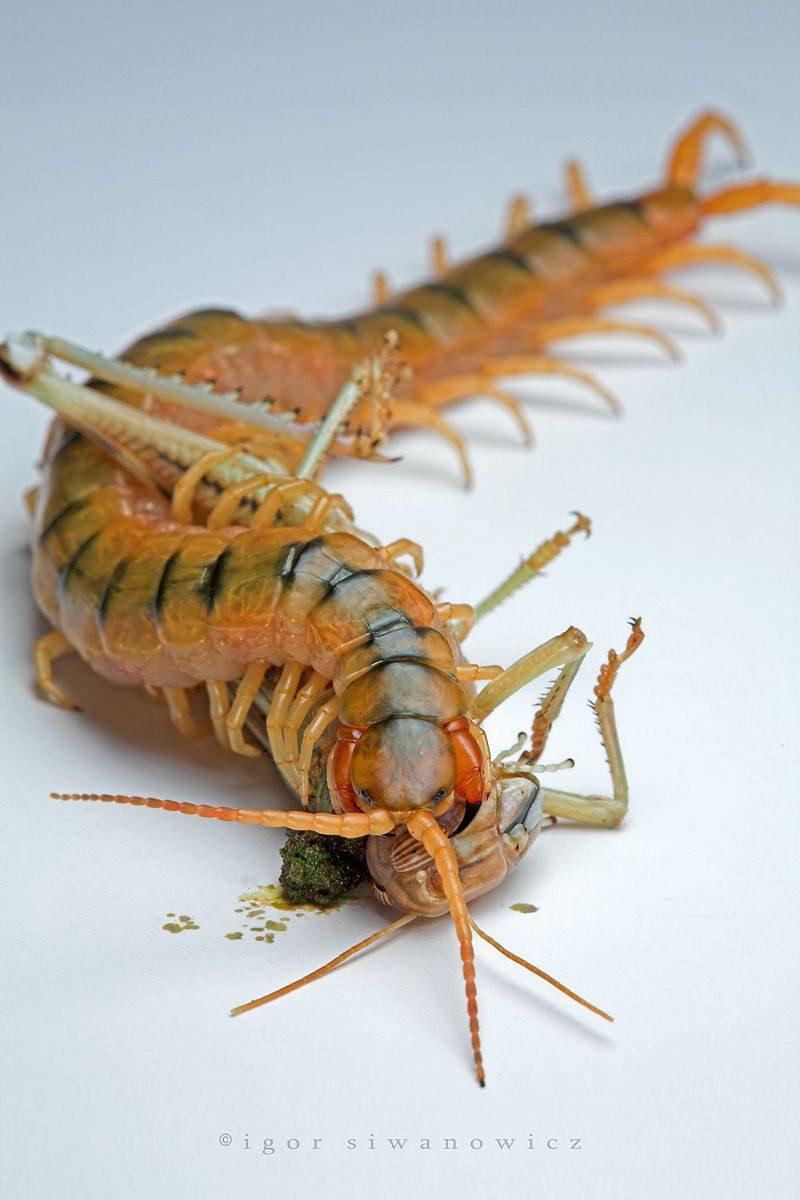 """""""Lymphshed"""" - Scolopendra cingulata frisst eine Wüstenheuschrecke (I. Siwanowicz)"""
