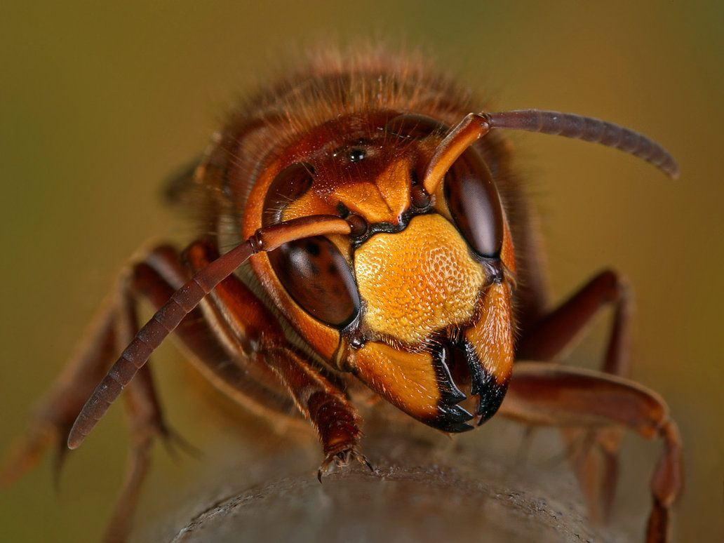 """""""raging Hornet"""" - Eine wütende Hornisse (I. Siwanowicz)"""