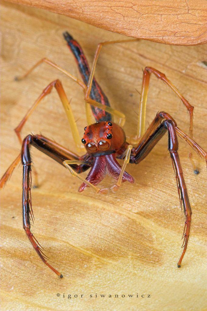 """""""oOOo"""" - Eine ziemlich bizarre Springspinne aus Singapur: Viciria praemandibularis, Männchen (I. Siwanowicz)"""