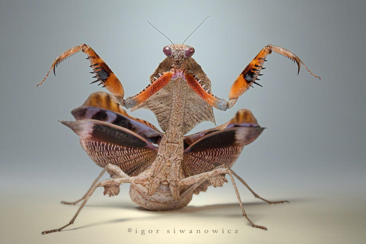"""""""colors of rage"""" - Manche Gottesanbeterinnen rocken einfach, wenn es zu Drohgebärden kommt. Eine Dead Leaf (Totes Blatt) Mantis, Deroplatys lobata (I. Siwanowicz)"""