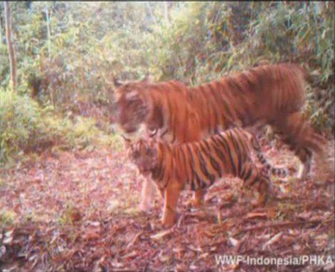 Tiger vor der Kamerafalle (WWF Indonesia)