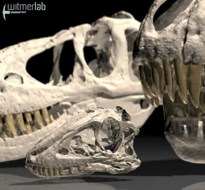 3D-Animation des jugendlichen Tarbosaurusschädels (Courtesy of WitmerLab at Ohio University)