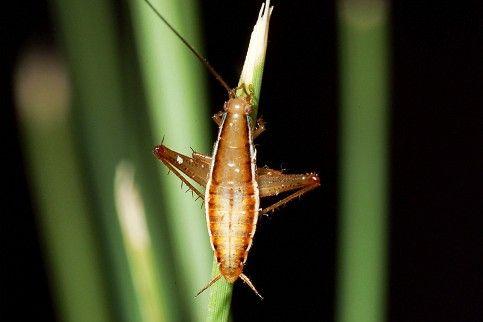 Saltoblattella montistabularis (Mike Picker / University of Cape Town)