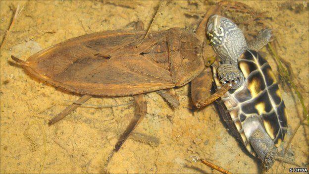Rollentausch: Insekt frisst Reptil (S. Ohba)