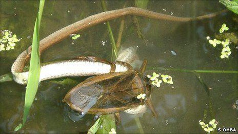 Eine Riesenwasserwanze überwältigt eine Schlange (S. Ohba)