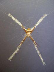 Seidenkreuz-Dekoration im Netz einer Radnetzspinne (Dr. Andre Walter)