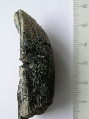Zahn eines Camarasaurus aus der Jurassic Morrison Formation in North Amerika (Thomas Tütken / Universität Bonn)