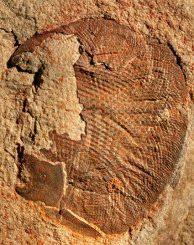 Fossil des über 500 Millionen Jahre alten Komplexauges (John Paterson / University of New England)