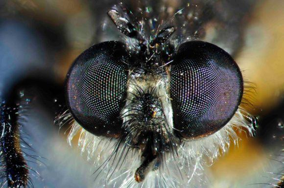 Das Facettenauge eines lebenden Insekts - einer Raubfliege (Peter Hudson / South Australian Museum)