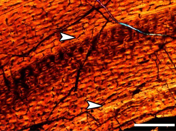 Die Pfeile deuten auf zwei LAGs im Knochengewebe eines südpolaren Dinosauriers (Photo courtesy of Holly Woodward)