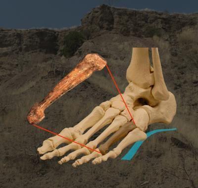 Der fossile Fußknochen und seine Position im Fuß. ( Carol Ward and Kimberly Congdon)