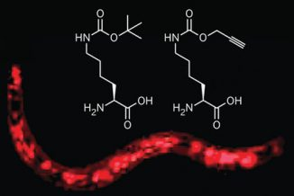 Dieser 1 mm lange Wurm bildet ein rotes Fluoreszenzprotein aus, was die Einbettung von Tert-Butoxykarbonyl-Lysin (links) oder Alkinyl-Lysin (rechts) bedeutet. (J. Am. Chem. Soc. 2011)