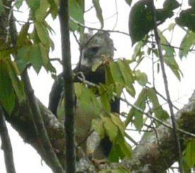 Harpyie in Belize. (Jamie Rotenberg, Copyright 2011, BFREE)