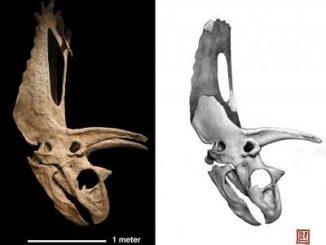 Fossiler Schädel eines Horndinosauriers. (Nicholas Longrich/Yale University