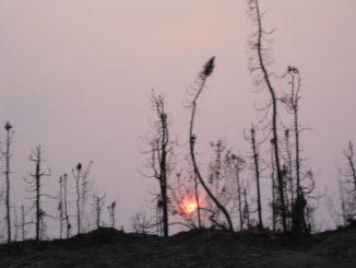 Abgebrannte Bäume. (Michigan Tech)
