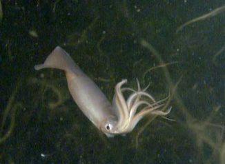 Ein Humboldt-Kalmar schwimmt im Meer vor der kalifornischen Stadt Tiburon. (NOAA / MBARI)