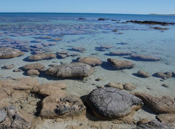 Die hier gezeigten Stromatolith-Formationen befinden sich in der Shark Bay an der Westküste Australiens. Die Cyanobakterien in den Stromatolithen leben nahe der Oberfläche des Gesteins, wo sie Sonnenlicht erhalten, das sie für die Photosynthese brauchen. (Photo by Virginia Edgcomb, Woods Hole Oceanographic Institution)