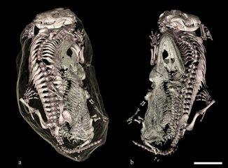 3D-Rekonstruktionen der Fossilien (Front- und Rückansicht). (V. Fernandez / University of Witwatersrand)