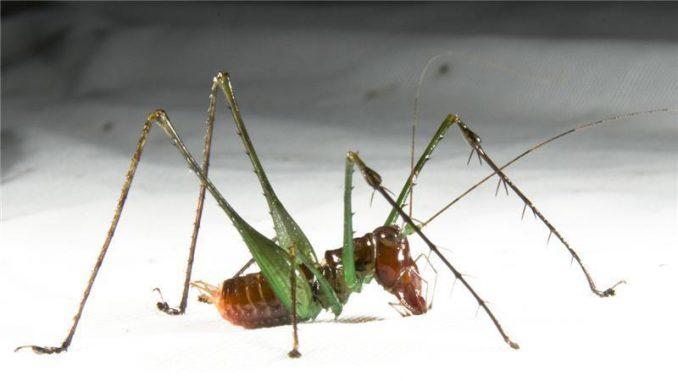 Ein männliches Exemplar der Spezies Arachnoscelis arachnoides. (Natasha Mhatre)
