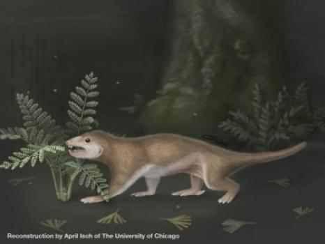 Rekonstruktion des nachtaktiven Megaconus mammaliaformis. Das Tier lebte an den Küsten eines flachen Süßwassersees in der heutigen Inneren Mongolei in China. (Credit: April Isch, Zhe-Xi Luo, University of Chicago)