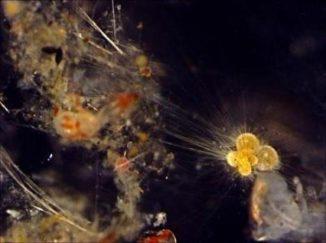Dieses Bild zeigt eine Nahaufnahme von planktonischen Foraminiferen. (University of Southampton)