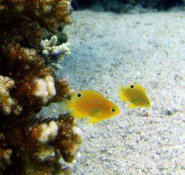 Zwei Ambon-Demoisellen (Pomacentrus amboinensis). Die auffallenden Augenflecken am hinteren Ende der Fische sind klar erkennbar. (ARC Centre of Excellence for Coral Reef Studies)