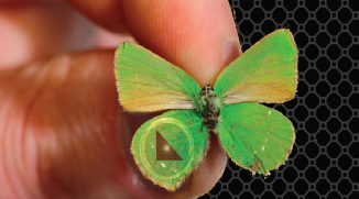 Ein Schmetterling der Art Callophrys rubi. (Swinburne University of Technology)