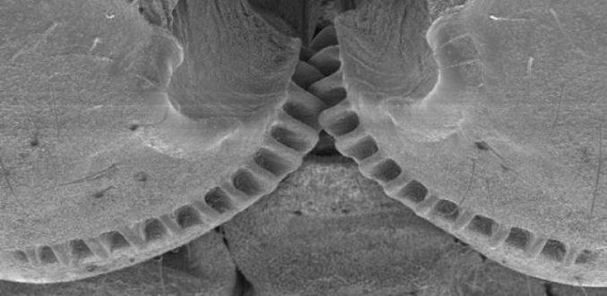 Zahnräder verbinden die Hinterbeine von Käferzikaden der Gattung Issus. (Credit: Burrows / Sutton)