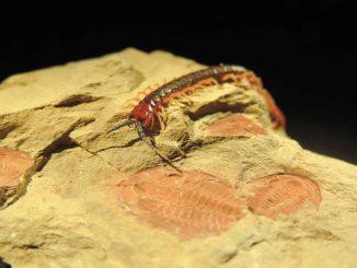 Ein lebender Arthropode (ein Hundertfüßer der Gattung Cormocephalus) krabbelt über seinen 515 Millionen Jahre alten Verwandten (einen Trilobiten der Gattung Estaingia), der während der Kambrischen Explosion lebte. (Michael Lee / University of Adelaide)