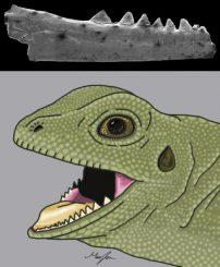 Der fossile Kiefer aus der Ausgrabungsstätte in Vellberg. Darunter eine illustrierte Rekonstruktion des Tieres. (Marc Jones)