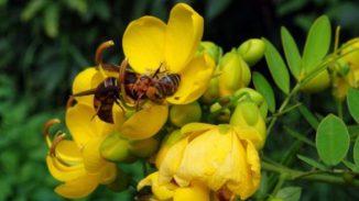 Eine der kleineren Hornissen greift eine Honigbiene auf einer Blüte an. (Ken Tan)