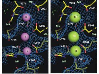 Die Grafik zeigt den tunnelartigen Eintrittspunkt zu den Bindeorten der Natrium-Kalium-Pumpe im natriumgebundenen Zustand. Die drei kleinen Natriumionen (violett) sind in der Pumpe gebunden. Für die größeren Kaliumionen (grün) ist nicht genug Platz. Das blaue Netz zeigt die innere Oberfläche des Proteins bei der Blockierung der Kaliumionen. Die Codes markieren die für den Bindungsprozess notwendigen Aminosäuren in der Pumpe. (Aarhus University)