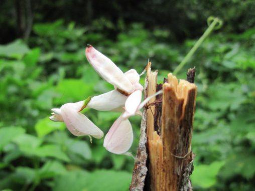 Ein Exemplar der Kronenfangschrecke. Ihr Aussehen gleicht dem einer Orchidee, was bestäubende Insekten in die Falle lockt. (Macquarie University)