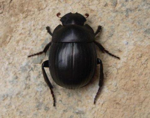 Ein Exemplar der neu entdeckten Art Gyronotus perissinottoi in seinem natürlichen Lebensraum. (Credit: Lynette Clennell; CC-BY 3.0)