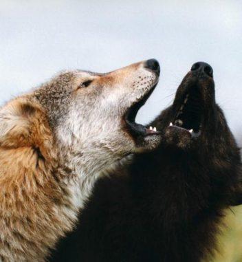 Zwei heulende Wölfe. (Monty Sloan)