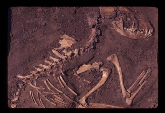 Das fossile Skelett eines Hundes, der vor rund 8.500 Jahren lebte und in der Koster-Ausgrabungsstätte in Illinois gefunden wurde. (Del Baston)