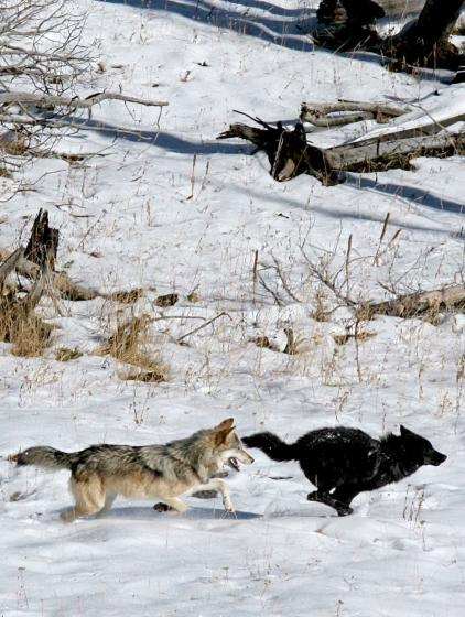Zwei Wölfe des Druid Peak Rudels im Yellowstone-Nationalpark. (Daniel Stahler / National Park Service)